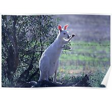 Skippy the white Kangaroo in the Mallee Poster
