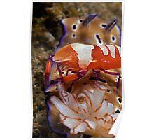 Emperor Shrimp Poster