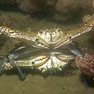 Blue Swimmer Crabs Mating by JimDodd