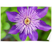 Clematis Puffy Purple Poster