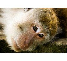 Macaca Fascicularis Photographic Print