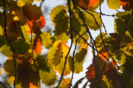Autumn Leaves in Melbourne by Ashlee Betteridge