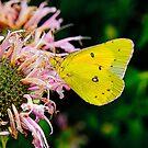 Butterfly On pink by Rod  Adams
