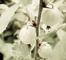 Gooseberries by Sarah-Paige Copeland