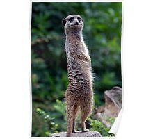 Meerkat - (Suricata suricatta) Poster