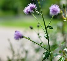 Thistles, Midday  by clane