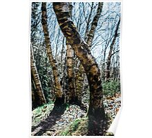 Curved Birch Tree Poster