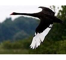 The Black Swan Photographic Print