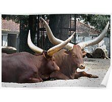 Long horned Ankole-Watusi cattle  Poster