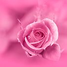 Pink Rose by Charuhas  Images