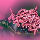 Pink Ashoka Flowers by Charuhas  Images