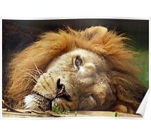 Asiatic Lion - (Panthera leo persica) Poster
