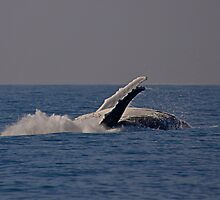 Humpback whale off Tweed Heads, 2009 #2 by Odille Esmonde-Morgan