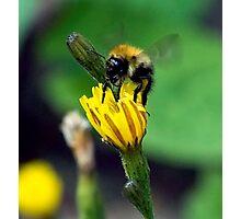 Bee On Flower 0014 Photographic Print