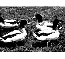 Mallard Ducks Artwork in Black, Gray and White Photographic Print