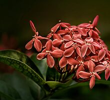 Ashoka Flowers by Charuhas  Images