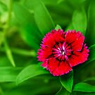 Single Flower by Charuhas  Images