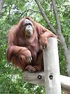Proud and Confident - Mother Orangutan  by Barberelli