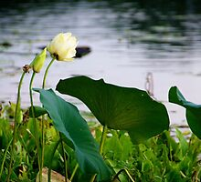 A water lily with a bud and some giant lily pads by Ann Reece