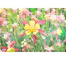 Yellow Columbine Photographic Print