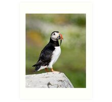 Puffin, Farne Islands Art Print