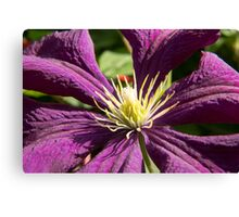 Macro blue and ruby red Clematis - flowers and leaves Canvas Print