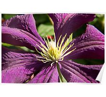 Macro blue and ruby red Clematis - flowers and leaves Poster