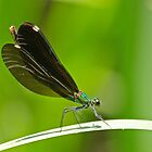 Beautiful Demoiselle by Robert Abraham