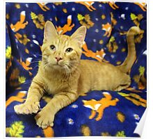 Orange Cat Highlighted with Royal Blue Poster