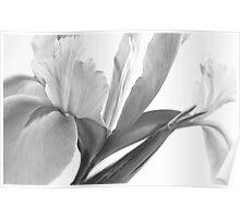 Iris in Black & White Poster