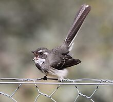 Grey Fantail, oh what a beautiful morning by mosaicavenues