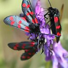 The Six-spot Burnet  by DutchLumix