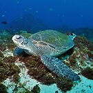 Resting Green Turtle  by JimDodd