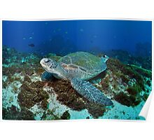 Resting Green Turtle  Poster