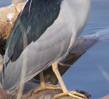 Black-Crowned Night Heron Sticker
