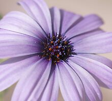 Lilac Osteopermum by OpalFire