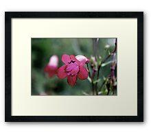 Delicate Pink Framed Print