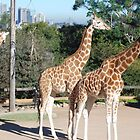 3 Giraffes and Sydney in back ground by alanball