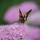 Butterfly on Autumn Sedum by Suz Garten