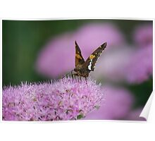 Butterfly on Autumn Sedum Poster
