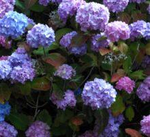 Beautiful Hydrangea Blossoms Sticker