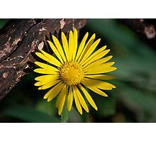 Yellow Compass Wildflower Photographic Print