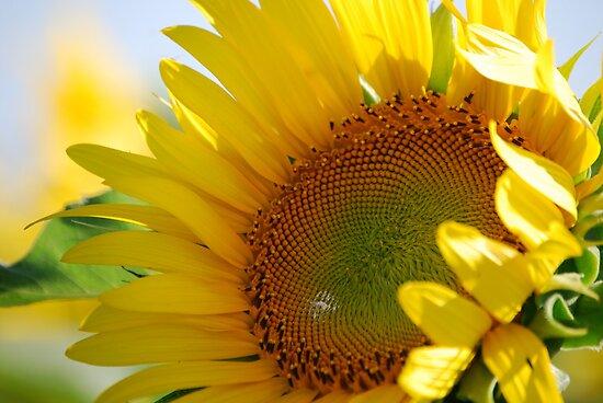 Kansas Sunflower by Suz Garten