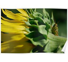 Grasshopper on Sunflower Poster