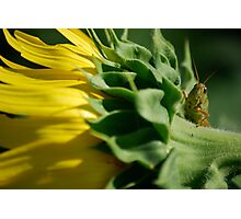 Grasshopper on Sunflower Photographic Print