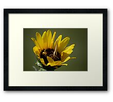 Butterfly vs Spider on Sunflower Framed Print