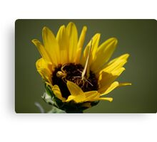 Butterfly vs Spider on Sunflower Canvas Print