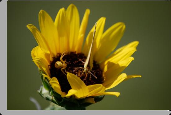 Butterfly vs Spider on Sunflower by Suz Garten