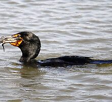 Cormorant catching and eating a Crab  by Paulette1021