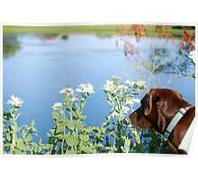 Chocolate Lab Smells the Flowers Poster